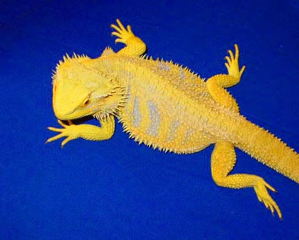 Pics For Gt Blue Bearded Dragon